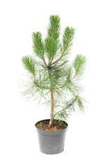 Beautiful fir tree in pot on white background
