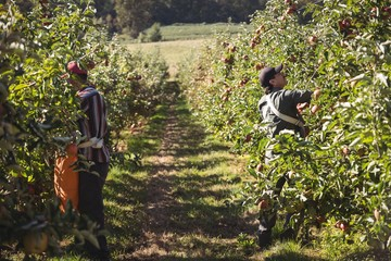 Farmers collecting apples in apple orchard