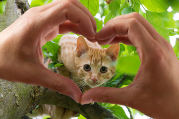 hands in the form of heart against young kitten on a tree