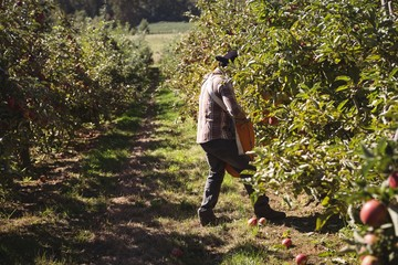 Farmer collecting apples in apple orchard