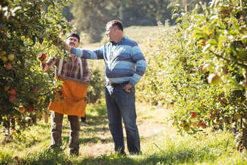 Farmer interacting with coworker in apple orchard