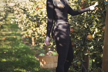 Female farmer collecting apples