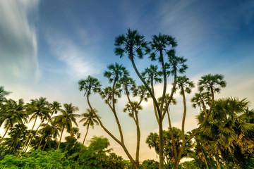 Palm trees with sky background.
