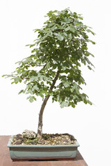 Field maple (acer campestre) bonsai on a wooden table and white background