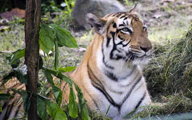 yellow black bengal tiger