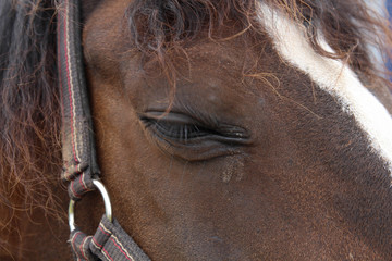 Horse watching and thinking. The eye. Quarter Horse Head Portrait