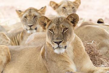Drei liegende Löwen im Tarangire Nationalpark, Tansania