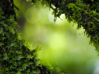 Blurred image, fresh green fern leaf and moss grows on a tree in the woods, rain forest nature background