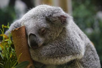 Papiers peints Koala Sleepy Koala