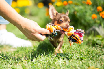 Little, cute chihuahua playing with toy in park, looking happy