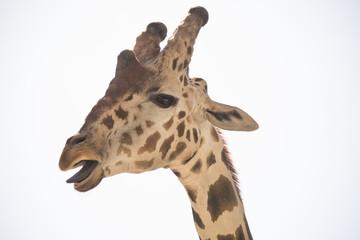 Headshot Giraffe