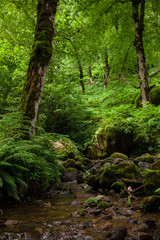 calm stream among stones, fern and tall trees