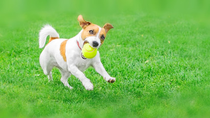 A frisky dog Jack Russell Terrier running with a yellow Tennis ball on green lawn outdoor at summer day. Copy-space left