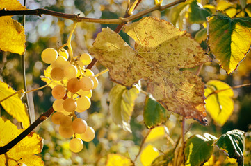 Film photos of bunch of grapes. Close-up of bunches of white wine grapes on vine, selective focus.