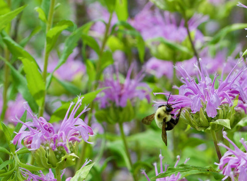 Bumble bee feeding on a wild bergamot blossom
