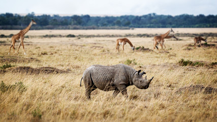 Critically Endangered Black Rhino in Africa