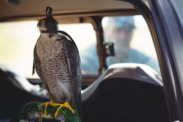 Close up of sparrowhawk in car