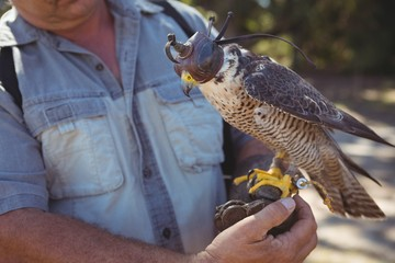 Mid section of falcon with sparrowhawk on hand