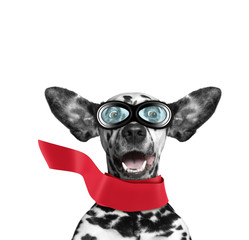 Cute dalmatian dog flying with his ears like a superhero. Isolated on white