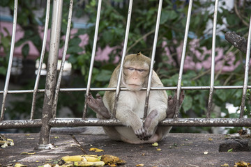 Lonely monkey Sitting behind the fence  looking at the banana.
