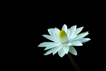 water lily flower isolated on black background