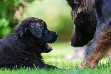 Old German Shepherd mother and puppy