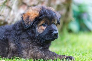 portrait of a cute Old German Shepherd puppy