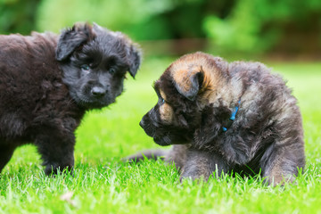 two old German Shepherd puppies play on the lawn