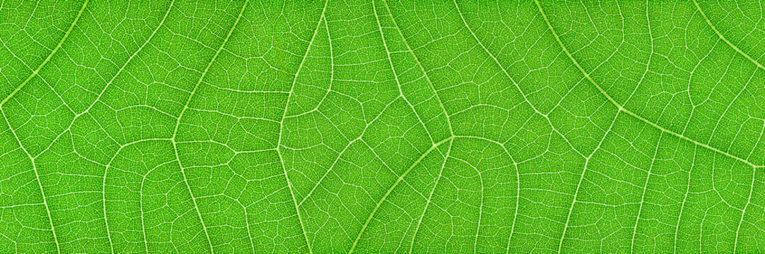 horizontal green leaf texture for pattern and background