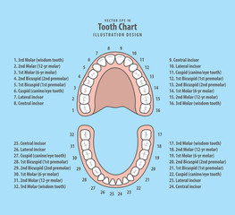 Tooth chart with number illustration vector on blue background. Dental concept.