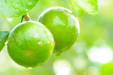 water drops on lemon in farm