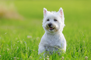 portrait of a West Highland Terrier Wall mural