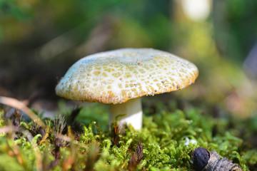russula virescens mushroom
