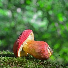 hortiboletus rubellus mushroom