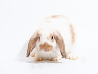 Little Holland Lop white rabbit on white background