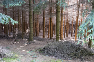 A dense coniferous forest with a pile of twigs in the foreground and light in the background.