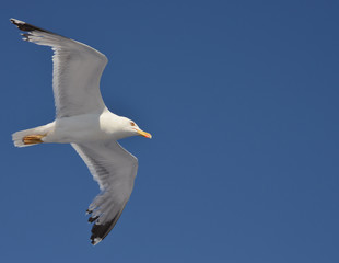 beautiful seagull flying with blue sky as background