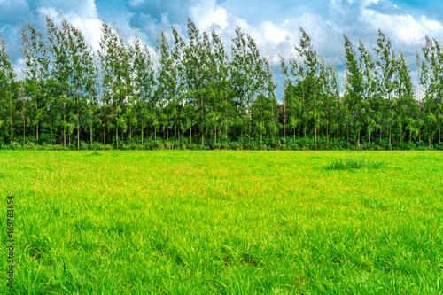 Wall mural Green grass, Background image of lush grass field under blue sky
