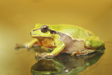 cute colorful green tree frog