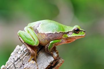cute tree frog on wooden stump