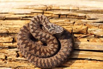 juvenile colorful european crossed viper basking in the sun
