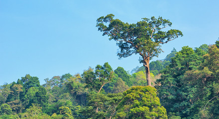 Big tree in the rain forest on the sky background