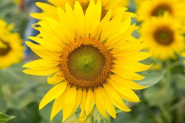 sunflower.image