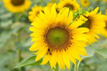 sunflowers.image