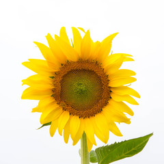 sunflowers.image