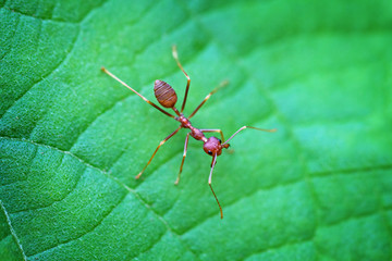 Closeup of a Solitary Weaver Ant in Thailand
