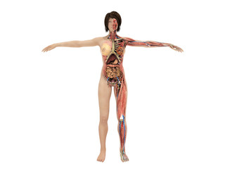 A woman body for books on anatomy 3d render image on white no shadow