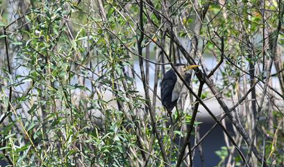 Tarabusino maschio nascosto tra gli alberi