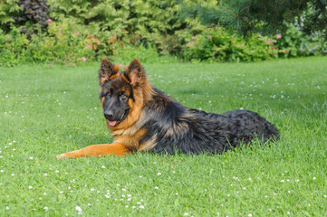 German shepherd young dog (eight-month puppy) lying on the lawn in the garden