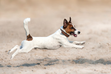 Jack russell terrier run and jump on beach